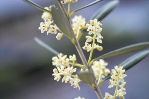 オリーブの花1