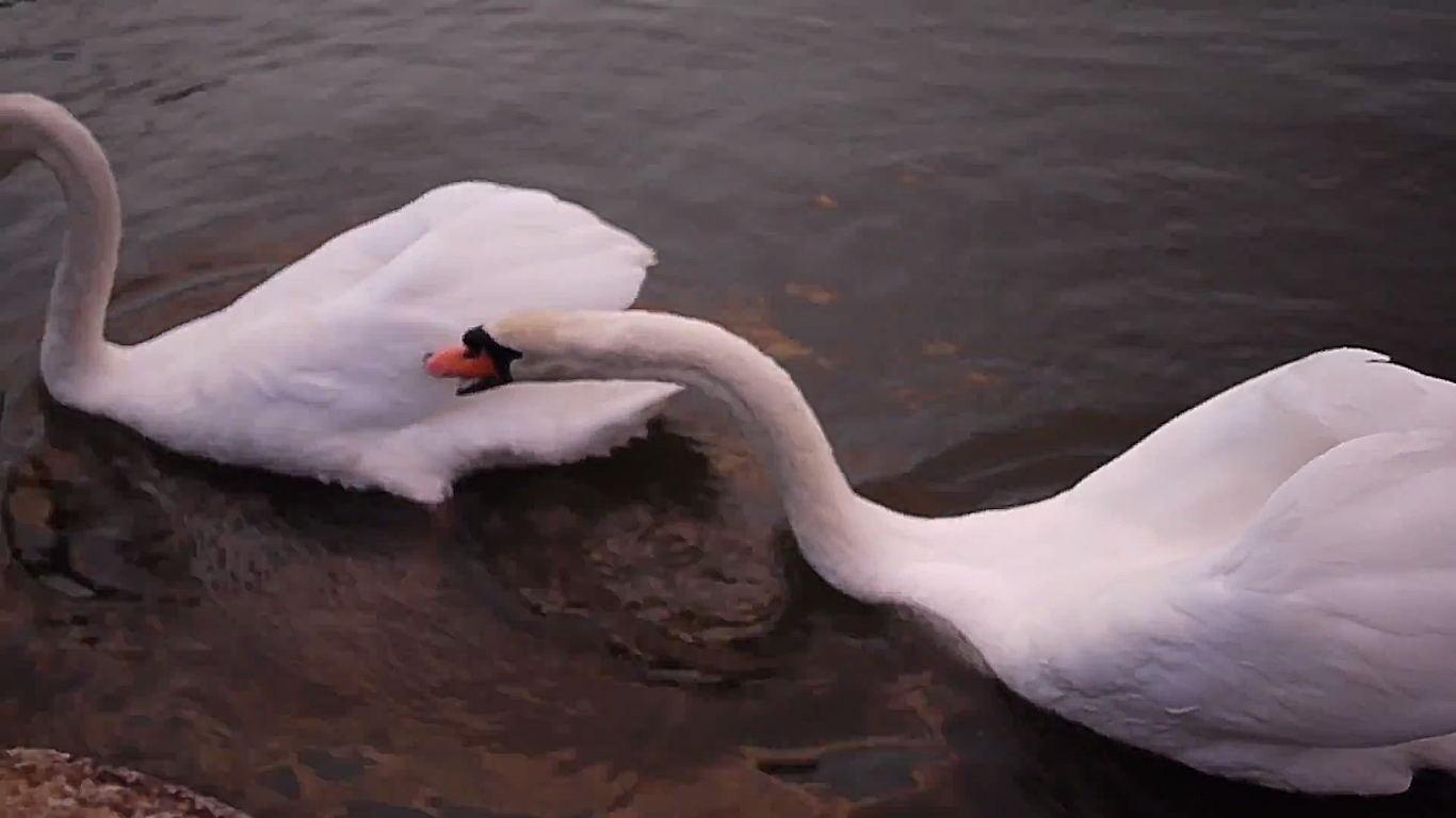 仲良い白鳥の夫婦?