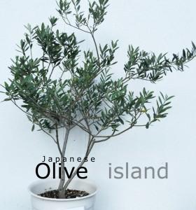 小豆島オリーブ苗写真2